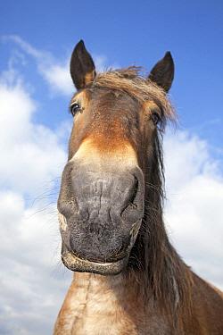 Domestic Horse (Equus caballus) portrait, Oeffelt, Netherlands  -  Jelger Herder/ Buiten-beeld