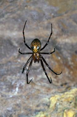 Cave Spider (Meta menardi), Belgium  -  Karl Van Ginderdeuren/ Buiten-be