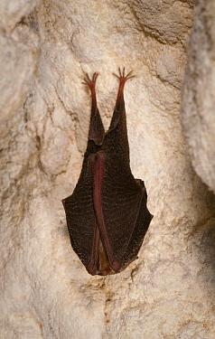Lesser Horseshoe Bat (Rhinolophus hipposideros) hibernating, France  -  Karl Van Ginderdeuren/ Buiten-be