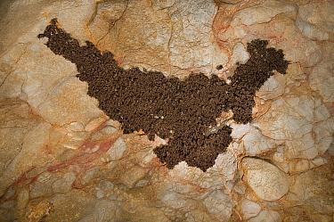 Schreibers' Long-fingered Bat (Miniopterus schreibersii) colony hibernating in a cave, France  -  Karl Van Ginderdeuren/ Buiten-be
