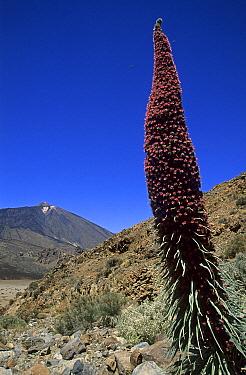 Tower of Jewels (Echium wildpretii), Canary Islands, Tenerife, Spain  -  Wil Meinderts/ Buiten-beeld