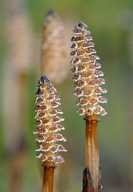 Field Horsetail (Equisetum arvense) shoots, Bommelerwaard, Netherlands  -  Wil Meinderts/ Buiten-beeld