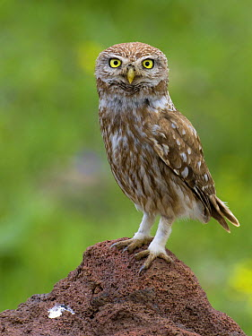 Little Owl (Athene noctua), Muradiye, Turkey  -  Daniele Occhiato/ Buiten-beeld
