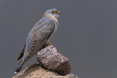 Common Cuckoo (Cuculus canorus), Muradiye, Turkey  -  Daniele Occhiato/ Buiten-beeld