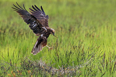 Western Marsh-Harrier (Circus aeruginosus) bringing sticks back to nest, Gobelen, Turkey  -  Daniele Occhiato/ Buiten-beeld