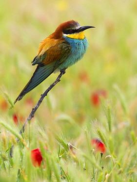 European Bee-eater (Merops apiaster), Igdir, Turkey  -  Daniele Occhiato/ Buiten-beeld