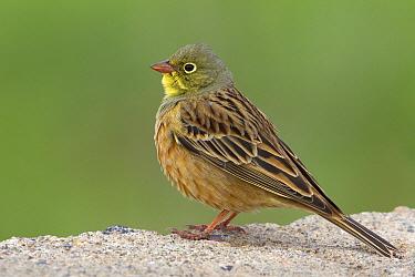 Ortolan Bunting (Emberiza hortulana) male in breeding plumage, Muradiye, Turkey  -  Daniele Occhiato/ Buiten-beeld