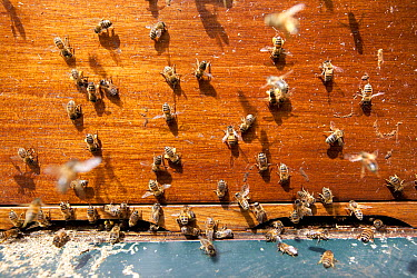 Honey Bee (Apis mellifera) colony at a beehive, Deventer, Netherlands  -  Sjon Heijenga/ Buiten-beeld