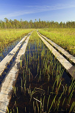 Boardwalk in peat bog, Belgium  -  Karl Van Ginderdeuren/ Buiten-be
