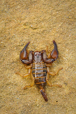 Scorpion on rock, Slovenia  -  Karl Van Ginderdeuren/ Buiten-be