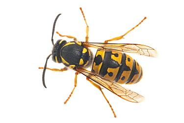 German Wasp (Vespula germanica), Kekerdom, Netherlands  -  Jelger Herder/ Buiten-beeld