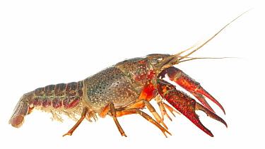 Louisiana Crayfish (Procambarus clarkii), Nijmegen, Netherlands  -  Jelger Herder/ Buiten-beeld