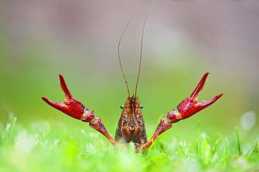 Louisiana Crayfish (Procambarus clarkii) raising claws in defensive posture, Nijmegen, Netherlands  -  Jelger Herder/ Buiten-beeld