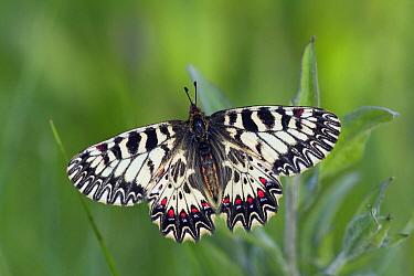 Southern Festoon (Zerynthia polyxena) butterfly female, Hungary  -  Klaas van Haeringen/ Buiten-beel
