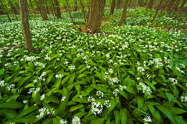 Wild Garlic (Allium ursinum) flowering in forest, Oostvoorne, Netherlands  -  Nico van Kappel/ Buiten-beeld