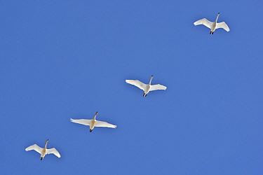 Whooper Swan (Cygnus cygnus) group in flight, Netherlands  -  Wouter Pattyn/ Buiten-beeld