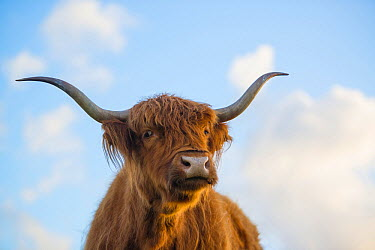 Highland Cattle (Bos taurus), Rockanje, Netherlands  -  Nico van Kappel/ Buiten-beeld