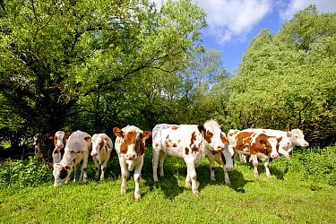 Domestic Cattle (Bos taurus) heifers used for extensive grazing in nature reserve, Olst, Netherlands  -  Sjon Heijenga/ Buiten-beeld