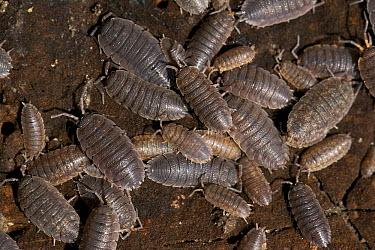 Common Shiny Woodlouse (Oniscus asellus) group, Utrecht, Netherlands  -  Luc Hoogenstein/ Buiten-beeld