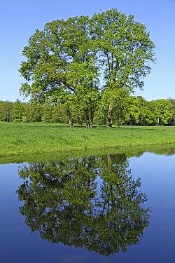 Trees reflected in a ditch, Voorschoten, Netherlands  -  Gerrit van Ommering/ Buiten-beel