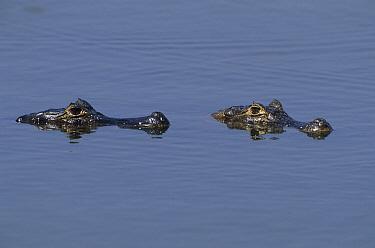 Black Caiman (Melanosuchus niger) pair floating at surface, Brazil  -  Wil Meinderts/ Buiten-beeld