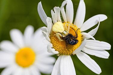 Goldenrod Crab Spider (Misumena vatia) on a Chrysanthemum (Chrysanthemum sp) catching bee prey, Bullingen, Belgium  -  Mark van Veen/ Buiten-beeld