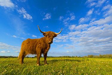 Highland Cattle (Bos taurus), Biesbosch National Park, Netherlands  -  Nico van Kappel/ Buiten-beeld