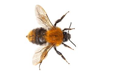 Brown Bumblebee (Bombus pascuorum), Broek op Langedijk, Netherlands  -  Jelger Herder/ Buiten-beeld