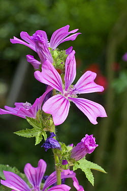 Common Mallow (Malva sylvestris), Deventer, Netherlands  -  Sjon Heijenga/ Buiten-beeld