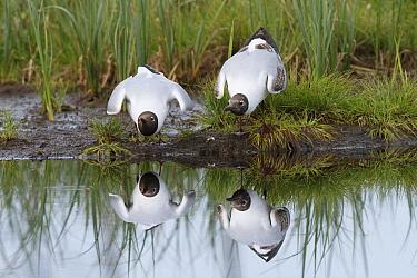 Black-headed Gull (Chroicocephalus ridibundus) courting pair, Kuhmo, Finland  -  Johan van der Wielen/ Buiten-bee
