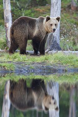 Brown Bear (Ursus arctos), Kuhmo, Finland  -  Johan van der Wielen/ Buiten-bee