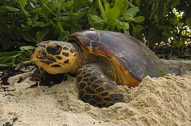 Hawksbill Sea Turtle (Eretmochelys imbricata) burying eggs on beach, Cousin Island, Seychelles  -  Wil Meinderts/ Buiten-beeld