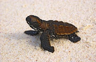 Hawksbill Sea Turtle (Eretmochelys imbricata) hatchling on sand, Cousin Island, Seychelles  -  Wil Meinderts/ Buiten-beeld