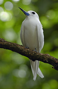 White Tern (Gygis alba), Cousin Island, Seychelles  -  Wil Meinderts/ Buiten-beeld