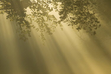 Sun rays through canopy on misty morning, Venray, Netherlands  -  Paul van Hoof/ Buiten-beeld