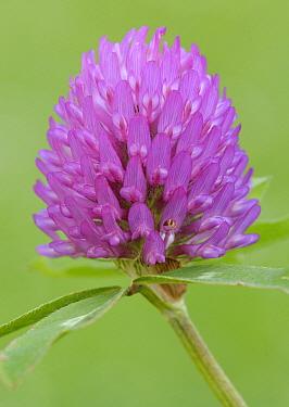 Red Clover (Trifolium pratense) flower, Bommelerwaard, Netherlands  -  Wil Meinderts/ Buiten-beeld