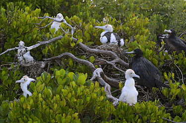 Great Frigatebird (Fregata minor) adult and chicks at breeding colony, Aldabra, Seychelles  -  Wil Meinderts/ Buiten-beeld