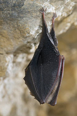 Greater Horseshoe Bat (Rhinolophus ferrumequinum) hanging from limestone, France  -  Paul van Hoof/ Buiten-beeld