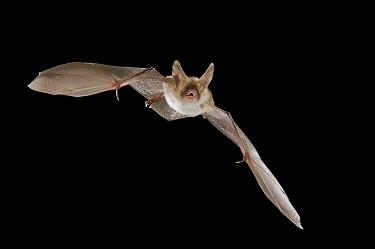 Bechstein's Bat (Myotis bechsteinii) flying, Belgium  -  Paul van Hoof/ Buiten-beeld