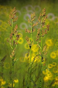 Common Sorrel (Rumex acetosa) inflorescence, Bommelerwaard, Netherlands  -  Wil Meinderts/ Buiten-beeld