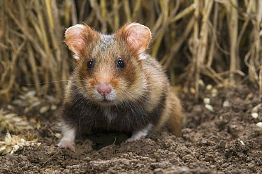 Common Hamster (Cricetus cricetus) in grain field, Netherlands  -  Paul van Hoof/ Buiten-beeld