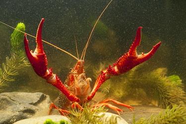 Louisiana Crayfish (Procambarus clarkii) in defense posture, Netherlands  -  Paul van Hoof/ Buiten-beeld