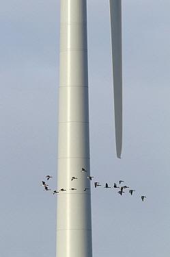 Bean Goose (Anser fabalis) group flying dangerously near a wind turbine, Wadden Sea, Netherlands  -  Mark Schuurman/ Buiten-beeld