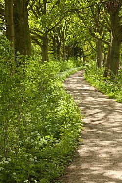 Beech (Fagus sp) ancient trees surrounding Estate Marienwaerdt house, Beesd, Netherlands  -  Bendiks Westerink/ Buiten-beeld