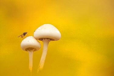 Porcelain Mushroom (Oudemansiella mucida) with fly on cap, Arnhem, Netherlands  -  Paul van Hoof/ Buiten-beeld