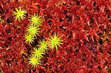 Haircap moss among peat moss, Hovden, Norway  -  Paul van Hoof/ Buiten-beeld