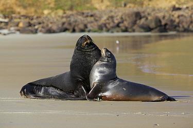 Hooker's Sea Lion (Phocarctos hookeri) male and female interacting, Dunedin, New Zealand  -  Luc Hoogenstein/ Buiten-beeld