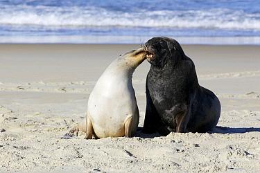 Hooker's Sea Lion (Phocarctos hookeri) pair interacting, Dunedin, New Zealand  -  Luc Hoogenstein/ Buiten-beeld