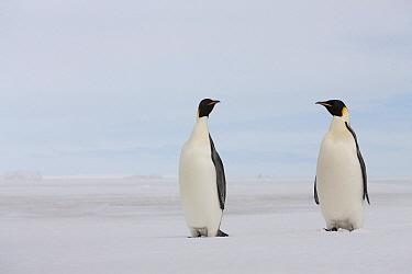 Emperor Penguin (Aptenodytes forsteri) pair, Antarctica  -  Lex van Groningen/ Buiten-beeld