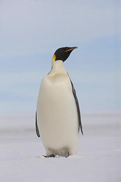 Emperor Penguin (Aptenodytes forsteri), Admiralty Sound, Antarctica  -  Lex van Groningen/ Buiten-beeld